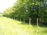 10 Italian Alder Hedging 2-3ft ,Alnus Cordata Trees.Very Quick Wind Break Hedge
