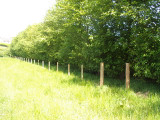 20 Grey Alder Trees, Alnus Incana 60-90cm Hedging, 2-3ft Tall 2yr Old Plants