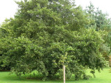 3 Common Alder Hedging,Alnus Glutinosa 2-3ft Trees,Great For Wildlife & Shade