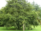 1 Common Alder Hedging, Alnus Glutinosa 2-3ft Trees, Great For Wildlife & Shade