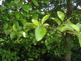 10 Grey Alder Trees, Alnus Incana 90-125cm Hedging, 3-4ft Tall 2yr Old Plants