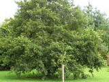 5 Common Alder Hedging,Alnus Glutinosa 2-3ft Trees,Great For Wildlife & Shade