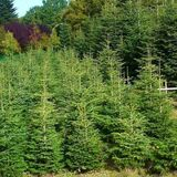 20 Nordmann Fir Christmas Trees 15-20cm.Britains Best No Needle Drop Nordman