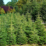 3 Nordmann Fir Christmas Trees 15-20cm.Britains Best No Needle Drop Nordman