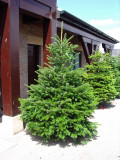 1 Nordmann Fir Christmas Tree 15-20cm.Britains Best No Needle Drop Nordman