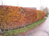 3 Green Beech Hedging 1-2ft Tall in 1L Pots, Fagus Sylvatica Trees,Brown Winter Leaves