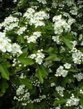 25 Hawthorn Hedging Plants, 4-5ft Hedges, Native Hawthorne,Quickthorn,Mayflower