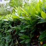 50 Portugal laurel Hedging Prunus Lusitanica 20-30cm, Evergreen Hedging Plants