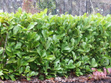 10 Cherry Laurel 2-3ft Multi-Stemmed Prunus Rotundifolia, Evergreen Hedging