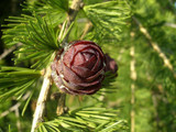 1 European Larch 40-60cm,Larix Decidua Plant,Native Tree With Seasonal Colours