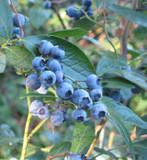 1 'Dixi' Blueberry Plant / Vaccinium cor. 'Dixi' 25cm Tall In 9cm Pot