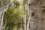 20 Silver Birch Trees 40-60cm,Quick Growing Screening,Betula Pendula Hedging