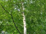 2 Silver Birch 6-8ft Stunning  Mature Specimen Trees, Betula Pendula 200cm