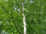 2 Silver Birch 6ft+ Stunning  Mature Specimen Trees, Betula Pendula