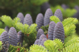 3 Korean Fir Trees / Abies Koreana, 15-20cm Tall, Very Popular Ornamental Plant