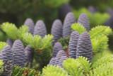 3 Korean Fir Trees / Abies Koreana, 15-20cm Tall, Very Popular Ornamental Plant