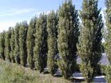 25 Lombardy Poplar / Populus Nigra Italica Trees 3-4ft Quick Native Wind Break