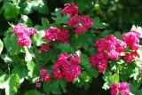 3 Midland Hawthorn Paul's Scarlet/Crataegus Laevigata 4-5ft, Rosea Flore Pleno