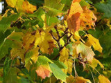 1 Norway Maple Tree, 60-90cm Acer platanoides Hedging,Stunning Autumn Colours
