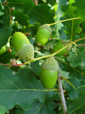 3 English Oak Trees 2-3ft Quercus Robur,Native Hedge Tree 60-90cm,Grow Acorns