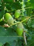 3 English Oak Trees 40-60cm Quercus Robur, Native Hedge Tree, Grow Acorns