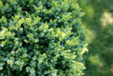 25 Common Box / Buxus Sempervirens, 30-40cm Hedging Plants, Evergreen