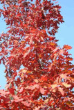 3 Red Oak Trees 2ft Tall Quercus Rubra Hedging Plants, Bright Autumn Colour
