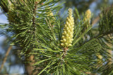 1 Scots Pine Tree 20-25cm Tall,Native Evergreen, Pinus Sylvestris 3yr old plants