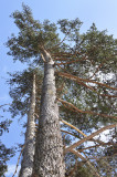 50 Scots Pine Trees 20-25cm Tall,Native Evergreen, Pinus Sylvestris 3yr old plants