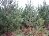 100 Scots Pine Trees 20-25cm Tall,Native Evergreen, Pinus Sylvestris 3yr old plants