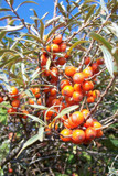 10 Sea Buckthorn Plants 1-2ft Edible Coastal Hedging,Hippophae Rhamnoides 40-60cm