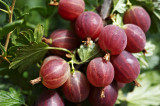 3 Red Gooseberry Plants/Uva Crispa 'Hinnonmakii Red' 3-5 Branches,Ready to Fruit