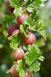 3 Red Gooseberry Captivator Plants Ribes uva Crispa, Branched Fruit Bushes
