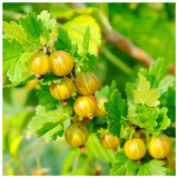 1 Yellow Gooseberry Plant / Uva Crispa Hinnonmakii in 12cm Pot, Ready To Fruit