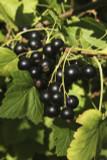 1 Ben Sarek Blackcurrant Plant / Ribes Nigrum 'Ben Sarek' 2-3ft Tall