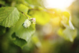 1 Hazel Plants,Flowering Edible Nut Hedge,1-2ft Wildlife Friendly Hedge 40-60cm
