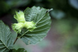 3 Hazel Plants,Flowering Edible Nut Hedge,2-3ft Wildlife Friendly Hedge 60-90cm