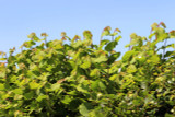 5 Hazel Plants,Flowering Edible Nut Hedge,1-2ft Wildlife Friendly Hedge 40-60cm