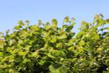 5 Hazel Plants,Flowering Edible Nut Hedge,1-2ft Wildlife Friendly Hedge 40-60cm