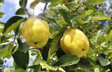 Quince Tree 'Champion' 4-5ft Tall, Ready to Fruit.Make Tasty Pies & Jelly