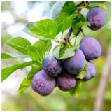 Plum Reine Claude d'Althan, 4-5ft Tall Tree, Large Purple Tasty Fruit, Lovely Flowers