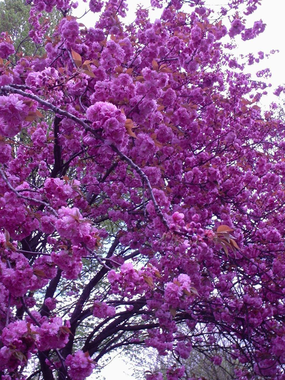 Japanese Flowering Cherry Prunus Kanzan 4 5ft Tall Large