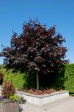 Maple 'Crimson King' / Acer Platanoides 'Crimson King' 4-5ft Tall, Stunning Colours