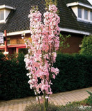 Japanese Amanogawa Pink Flowering Cherry 4-5ft Tall In 6L Pot,Upright Growing.Prunus Serrulata