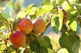 Apricot Bergeron Tree 4-5ft Tall, Self-fertile Sweet & Tasty Orange Flesh