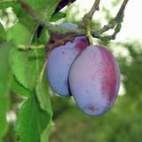 Opal Plum Tree 4-5ft Tall, Self-Fertile, Tasty & Sweet, Ready to Fruit