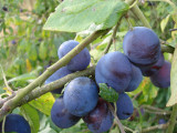 Merryweather Damson Plum Tree 4-5ft, Self-Fertile & Heavy Cropping Very Tasty
