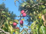 Big Juicy Victoria Plum Tree, 4-5ft Tall, Self Fertile & Juicy, Ready to Fruit