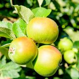 Bramley's Seedling Apple Tree 4-5ft Ready to Fruit,The Most Popular Cooker