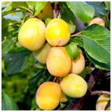 Golden Gage 'Oullins' Plum Tree 4-5ft, Self-Fertile, Sweet Honey Flavour